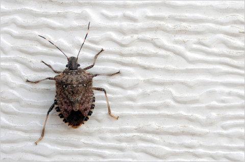 top 5 des insectes qui font peur aux japonais. Black Bedroom Furniture Sets. Home Design Ideas