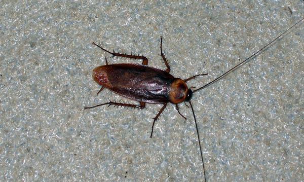 взять жуки похожие на тараканов фото ценители творчества