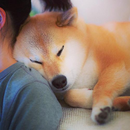 maru le chien le plus populaire aupr s des japonais. Black Bedroom Furniture Sets. Home Design Ideas